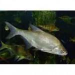 Рыба синец относится к семейству карповых