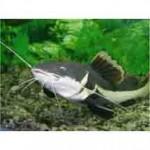 Рыба сом относится к семействусомовые