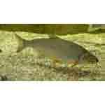 Рыба сырть относится к семейству карповых