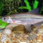 Рыба быстрянка относится к семейству карповых
