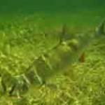 Рыба жерех, как правильно ее ловить