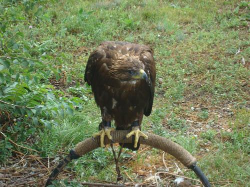 Орел в заповеднике Галичья гора