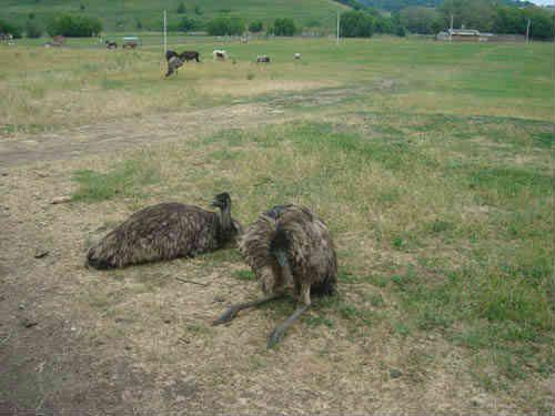 Два страуса на лужайке