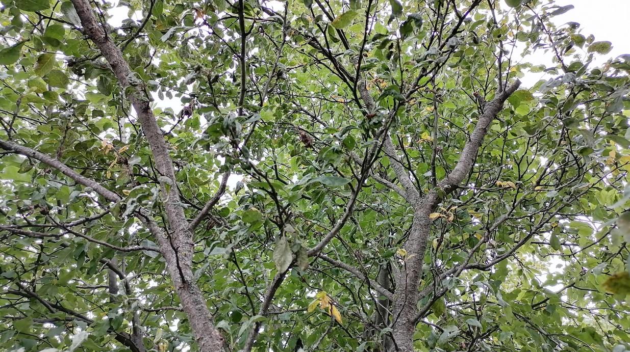 Слива листва